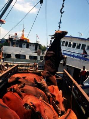 sapi digantung, memudahkan pengangkutan