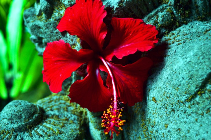 Red Color of Shoe Flower