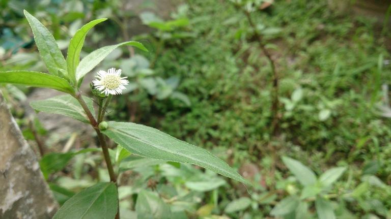 Bunga Semak Belukar